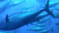 """ORKİNOS MİLLİ GÖZLEMCİSİ (OMG) İSTİHDAMINA YÖNELİK DUYURU(2015) Uluslar arası Atlantik Ton Balıklarını Koruma Komisyonu (ICCAT) bünyesinde uygulanacak """"Gözlemci Programı"""" çerçevesinde, CANLI ORKİNOS KAFESİ ÇEKEN VEYA ÖLÜ ORKİNOS TAŞIYAN gemilerde """"Orkinos […]"""